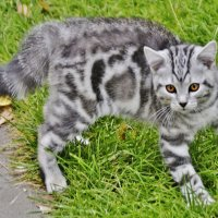 Пушистый,мраморный,тигристый :: Валерий Антипов