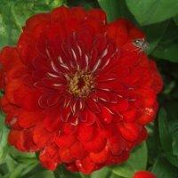 Красный цветок :: Елена Овчинникова