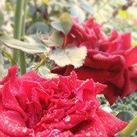 Волшебные розы :: Кристина Варнавская