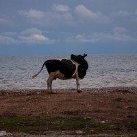 Солнцелюбивые коровы Абхазии :: Ирина Токарева