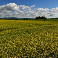 рапсовое поле :: Dorosia