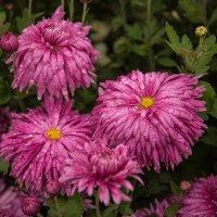 Хризантемы и дождь :: Андрей Нибылица