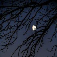 В ветвях заблудилась луна. Плывёт и не знает как выбраться в небо :: Ольга Семенова