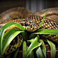 Змея :: Полина