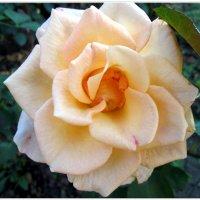 Нежность осенней розы... :: Тамара (st.tamara)