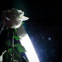 Роза, блики :: Emily Rose