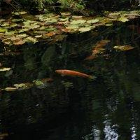 Золотая рыбка существует :: Dmitry Kovshick