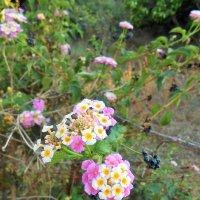 Греция о.Корфу, неизвестный цветок :: Александра