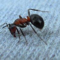 Упрямый муравей. :: nadyasilyuk Вознюк