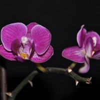 Орхидея :: Александр Пушкарёв