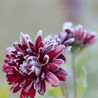 замороженный цветочек :: Лариса Батурова