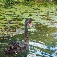 одинокий лебедь на пруду :: Aнатолий Бурденюк