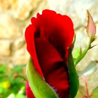 Роза бурно распускается... :: Марк