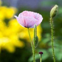 Розовый мак :: Любовь Потеряхина