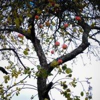 Последние яблочки :: Сергей Базылев