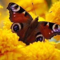 метелик :: Борис Бармалей