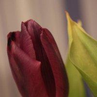 Тюльпаны :: Виктория Виноградова