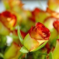 Роза :: Елена Чижова