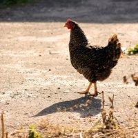 chicken in a field of dry grassвание :: Halyna Hnativ