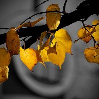 Листья осенние. Липа :: Виктор Четошников