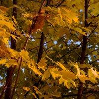 Листья освещенные солнцем :: Юрий Стародубцев