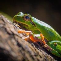 Древесная лягушка :: Сергей Наумов