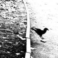 ворона, зря вперёд и взад, чудной представила glissade :: sv.kaschuk