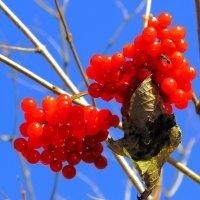 Калина красная, рубином светятся,  искрятся грозди твои в саду. :: Нина северянка