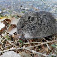 Мышка :: Александр Шишков