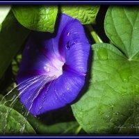 И плачут синие цветы от боли... :: Анна Бойнегри