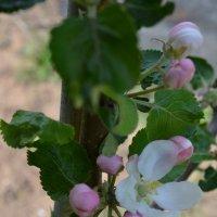 Когда яблони цветут.. :: zoja