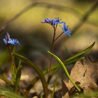 Пролесковый заповедник_2014 © :: Natalia Danilova