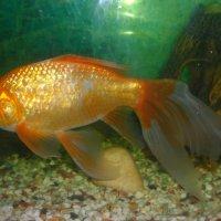 Рыбка золотая! :: Наталья