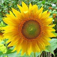 Подсолнухи пахнут солнечной свежестью. :: Ирина Нафаня