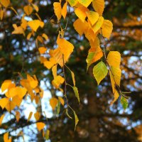 Золото листвы осенней :: Тамара