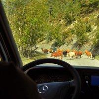 Коровы на дороге! Рогатые! Живые! :: Ирина Данилова