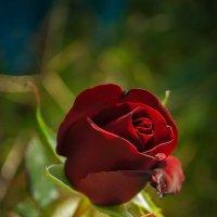 Осенняя роза :: Helavia *