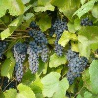Уральский виноград :: натальябонд бондаренко