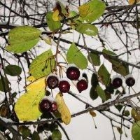Зимняя вишня. :: Михаил Попов