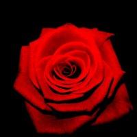 роза на черном фоне :: Анютка А