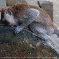 Sangeh Monkey Forest Bali :: Anna Kramchatkina