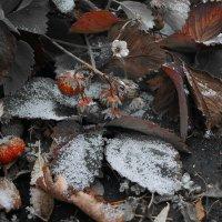 Первый снежок и последняя клубничка :: Павел Гусев