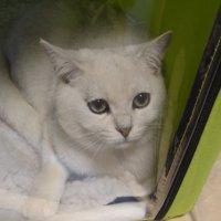 белая кошка :: Анастасия Вышемирская
