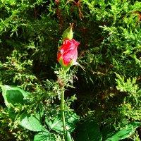 """""""Расцветает Роза Алая ..."""" :: Aleks Ben Israel"""