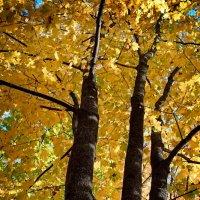 Осенний клён. :: Андрий Майковский