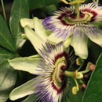 цветы :: mirtine