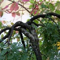 эх,сколько пережито или старое дерево :: Олег Лукьянов
