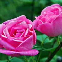 Розовая парочка :: Александр Резуненко