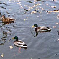 Утки в пруду. :: Валерия Комова