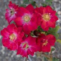 Розы в октябре :: Александр Деревяшкин